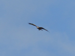 FZ005251 Red kite (Milvus milvus) [crop].jpg
